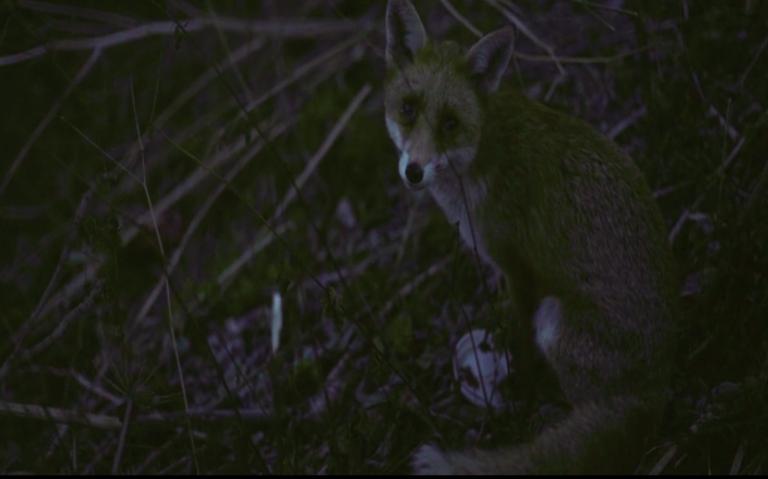 My Urban Fox Film