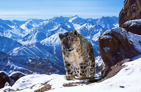 A still of an endangered snow leopard taken from Planet Earth II (Credit: BBC/David Willis)