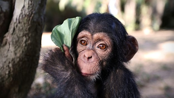 Baby Chimp Rescue (credit: BBC)