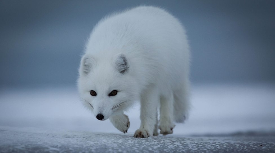 An Arctic Fox (Credit: BBC Pictures)