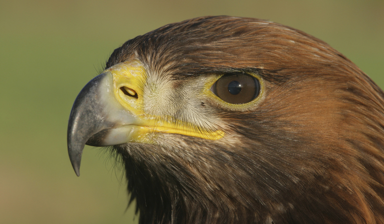 golden eagle - copyright albert